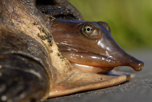 """Existing laws have not been completely successful in preventing the unauthorized collection and trade of these four native U.S. freshwater turtle species."" Photo: Andrea Westmoreland BY CC SA 2.0"