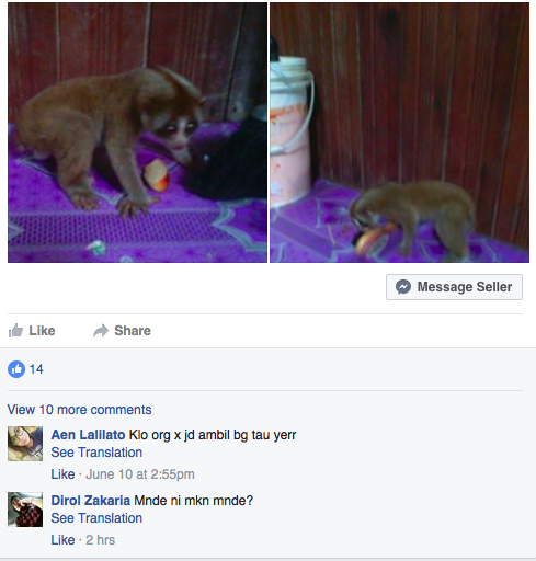 The plight of Southeast Asia's loris is well-publicized, yet illegal trade continues in Facebook groups.