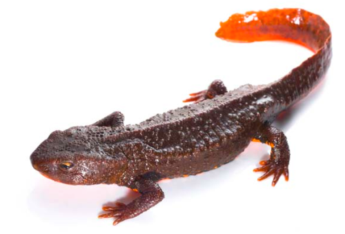 """These amazing amphibians are being harvested and traded almost completely under the radar,"" said Dr Chris R. Shepherd, Regional Director of TRAFFIC in Southeast Asia. Photo © Jodi Rowley"