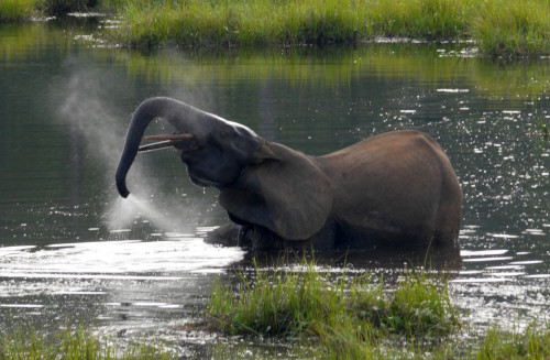 """""""Perpetuating legal trade only serves to stimulate this consumer demand and further threaten wild elephant populations."""" Photo: Dirck Byler / USFWS"""