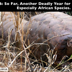 To date, African pangolin species have made up a confirmed minimum of 78% of the 14.5 tonnes of pangolin scales *seized in Asia* this year. Photo: David Brossard CC by SA 2.0