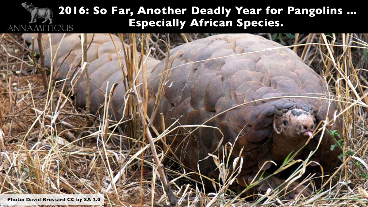 Scales from African pangolin species *seized in Asia* currently account for a minimum of 78% of the 14.5 tonnes of pangolin scales intercepted this year. Photo: David Brossard CC by SA 2.0