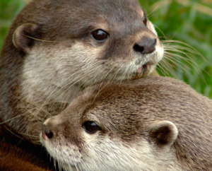 Asia's otters are threatened by illegal trade in skins and as exotic pets. Photo © Nicole Duplaix