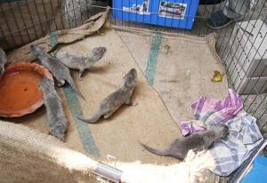 Small-clawed Otter pups seized in Suvarnabhumi International Airport Bangkok in January 2013. Photo © TRAFFIC