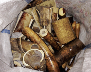 Raw ivory from African elephants for processing in Vietnam. Photo by Lucy Vigne