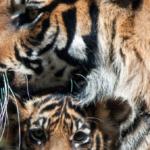 A coalition of 45 NGOs call upon China, Laos, Thailand and Vietnam to end tiger farming and trade.