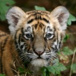 India: Maharashtra Approves 'Shoot-on-Sight' Policy for Tiger Killers