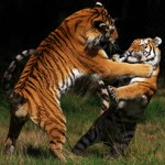 India: Eight Suspected Tiger Killers Arrested