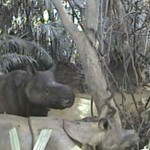 Safeguarding of Javan Rhinos Continues to Improve