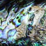 Northern California Checkpoint Thwarts Abalone Poachers