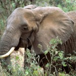 INTERPOL Operation Nets Two Tonnes of Illegal Elephant Ivory, 200 Suspects Arrested