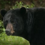 Hawaii Bans Trade in Products Containing Bear Bile and Gallbladders