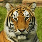 India: Politician to Reward Informants, Guards Who Shoot Tiger Killers