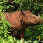 It's a Boy! Critically Endangered Sumatran Rhino Born in Indonesia