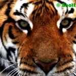 Concern Grows Around South Africa's Tiger Trade