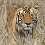 India: Six-Member Tiger Killing Gang in Custody