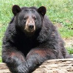 Illegal Bear Bile Trade 'Nothing New' in North America
