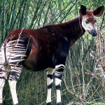 Ivory Gang Murders 7 People, 13 Okapi at DRC Wildlife Reserve