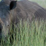South African Game Farmers Killing Their Own Rhinos 'for Profit'