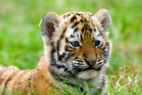 10 Facts You Might Not Know About Tigers Annamiticus