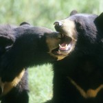 India: 6 Bears Killed for Gallbladders, 5 Suspects Arrested