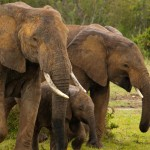 30 Elephants Slaughtered in Chad, Pro-Trade Lobby Pushes Ivory Agenda