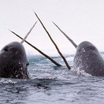 Cause for Concern: Canada's Narwhal Ivory Trade