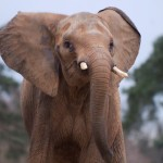 Chad: Troops Called In, Elephant Slaughter Continues