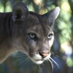 Light Sentence for Intentional Killing of Endangered Florida Panther