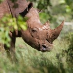 South Africa: Game Farmers Sentenced to Jail for Rhino Killing Scheme