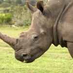 Rhinos: From South Africa to Vietnam — via Thailand?