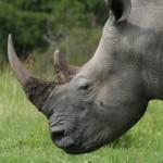South Africa: 373 Rhinos Killed in 248 Days