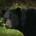 Two Pennsylvania Couples Charged with Trafficking Bear Gallbladders