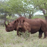 Smugglers Plead Guilty in U.S. Rhino Horn Trafficking Case