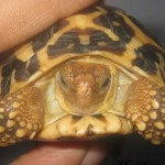 Thailand: 890 Baby Tortoises Confiscated, Smuggler Arrested
