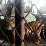 Thailand: 4 Tigers Rescued, Suspected Trafficker Arrested