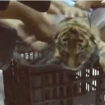 Thailand: Wildlife Trafficker Arrested with 16 Tiger Cubs