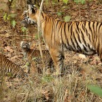 India: Local Tribespeople Enlisted to Help Protect Tigers