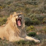 Statement in Support of Listing the African Lion as Endangered