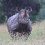 U.S. 'Operation Crash' Nets Three More Rhino Horn Traffickers