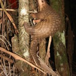 Southeast Asia: Over 200 Live Pangolins Seized in Less Than 10 Days