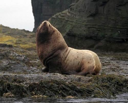 Steller sea-lion (Eumetopias jubatus). Photo by Ann Morkill, (fws.gov)  via Wikimedia Commons