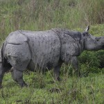 Rhino Death Toll on the Rise in India