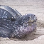 Costa Rica: Marine Turtle Activist Murdered, Reward Offered for Information