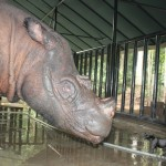 Saving the Sumatran Rhino with Siblings