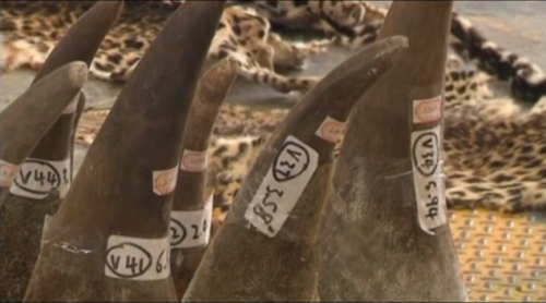 1,120 elephant tusks, 13 rhino horns, and five leopard skins were seized in Hong Kong on August 7, 2013. (Screenshot via thv11.com)