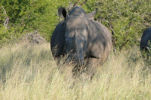 A Vietnamese delegation is on a fact-finding mission about the illegal trade in rhino horn in South Africa. Photo by Lorraine R [CC-BY-SA-2.0] via Wikimedia Commons