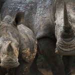 US Moves to Close Rhino Horn Trade Loopholes by Listing White Rhino as Threatened