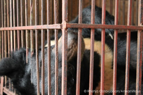 Captive bear at bile extraction facility near Hanoi. Photo © Rhishja Cota-Larson / Annamiticus