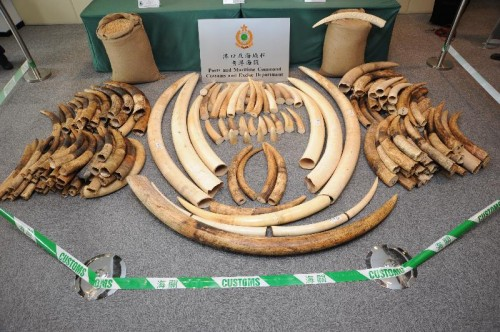 Ivory seized in Hong Kong on October 3, 2013. Photo courtesy of Hong Kong Customs and Excise Department